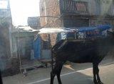 Корова на улице Аллахабада